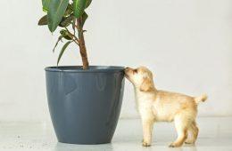 Köpekler İçin Zararlı Bitkiler