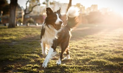 en akıllı köpek